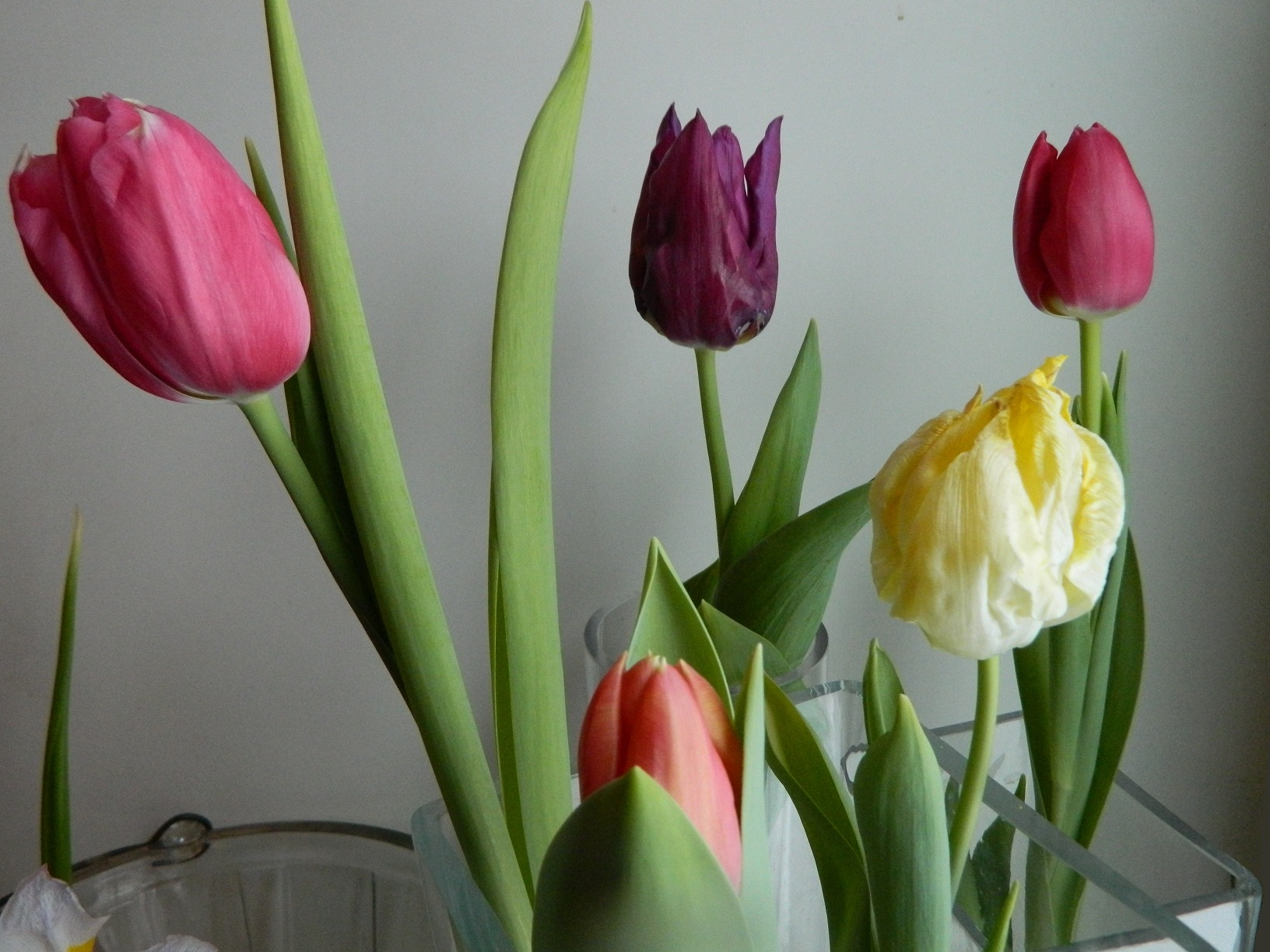 tulip bulbs from a supermarket yielded mixed results with indoor water forcing a yellow tulip is poorly formed the purple tulip is imperfect
