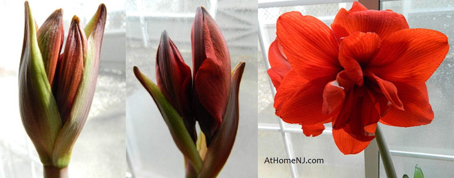 Kimberly L. Jackson - New Jersey Gardens - Amaryllis bulb reblooms ...