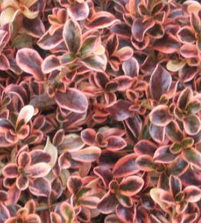 Landscape Design Mirror Plant Coprosma Repens