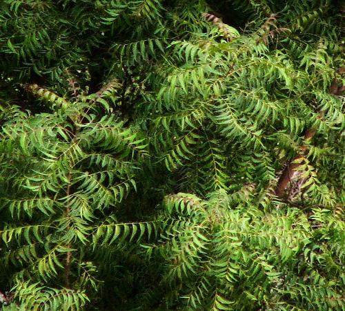 how to grow neem tree