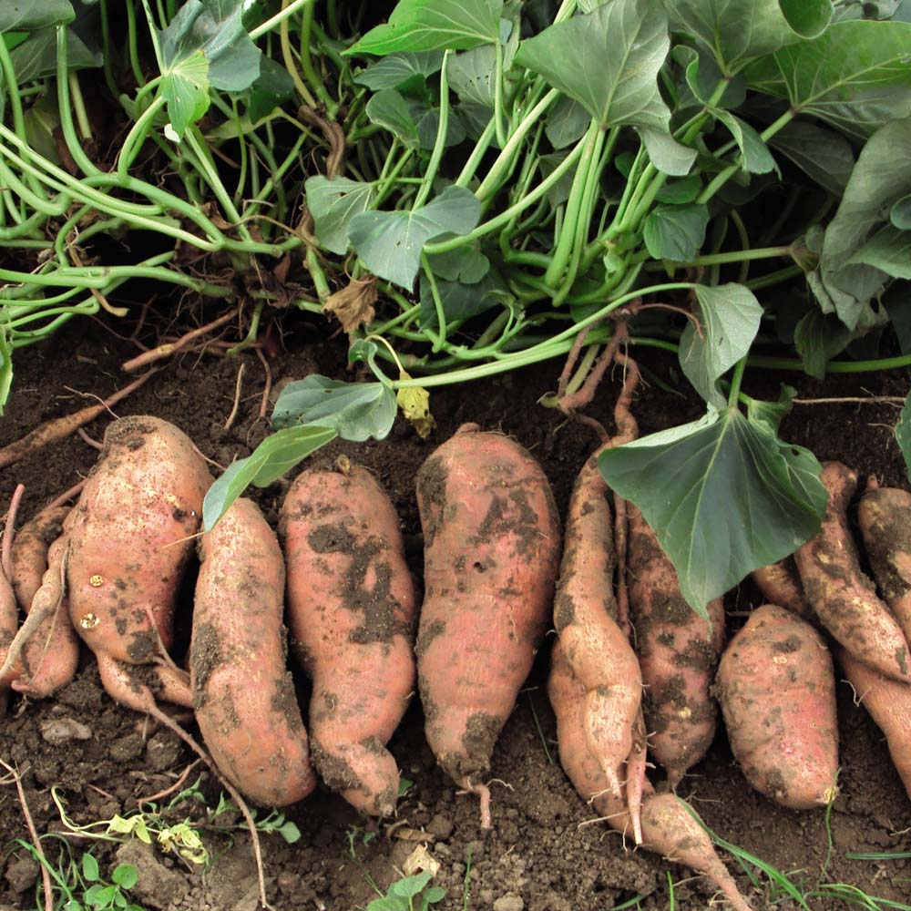 Cultivating Sweet Potatoes