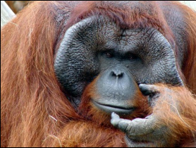 Primates-SG - Great Apes of the World