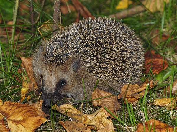 Hedgehog snuffling leaves