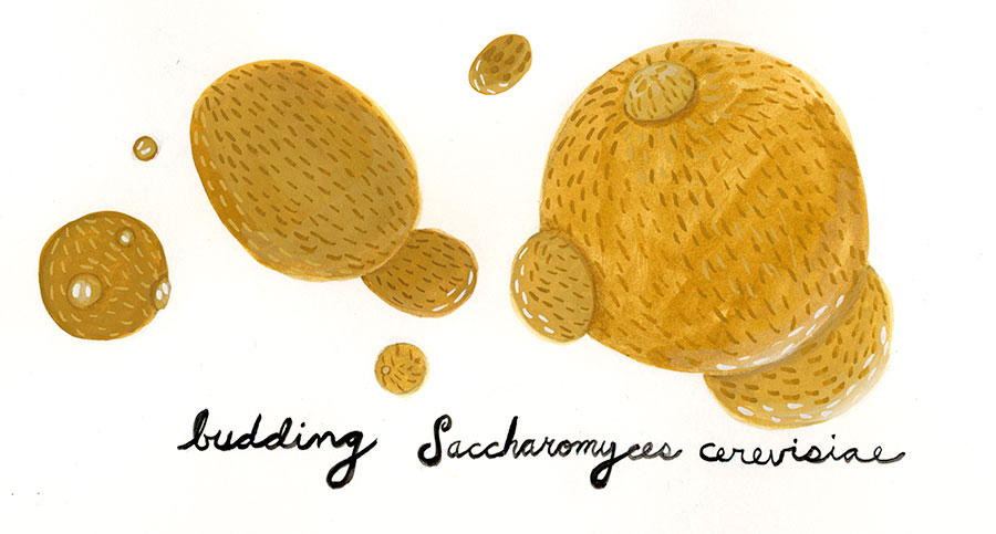 Christine Marie Larsen Illustration Budding Saccharomyces cerevisiae