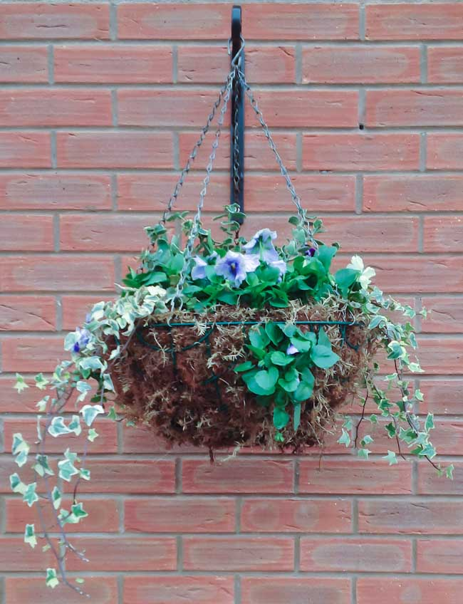 Winter Garden Ideas Uk Part - 24: This Clientu0027s House In Shrewsbury Has Been Softened With The Addition Of  Four Hanging Baskets Planted With Winter Interest. Hedera Helix Flows Over  The Side ...
