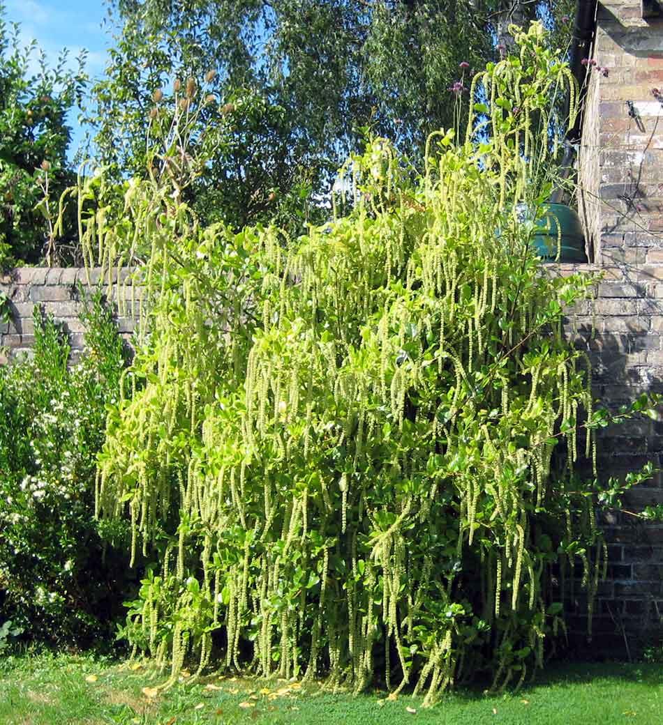 Itea illicifolia gardens hornby garden design garden for Garden designs for medium gardens