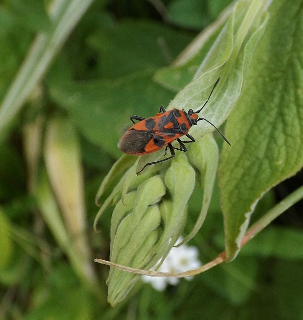 ... Insects, Including Some Garden Favourites : Dock Bugs Mating On A Sunny  Rhubarb Leaf, A Bright Red Cardinal Beetle And The Bug Corizus Hyoscani, ...