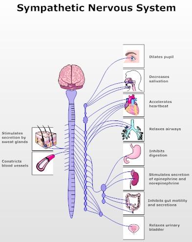 Sympathetic nervous system regulation of the tumour     Simple Autonomic Nervous System   Autonomic Nervous System Diagram
