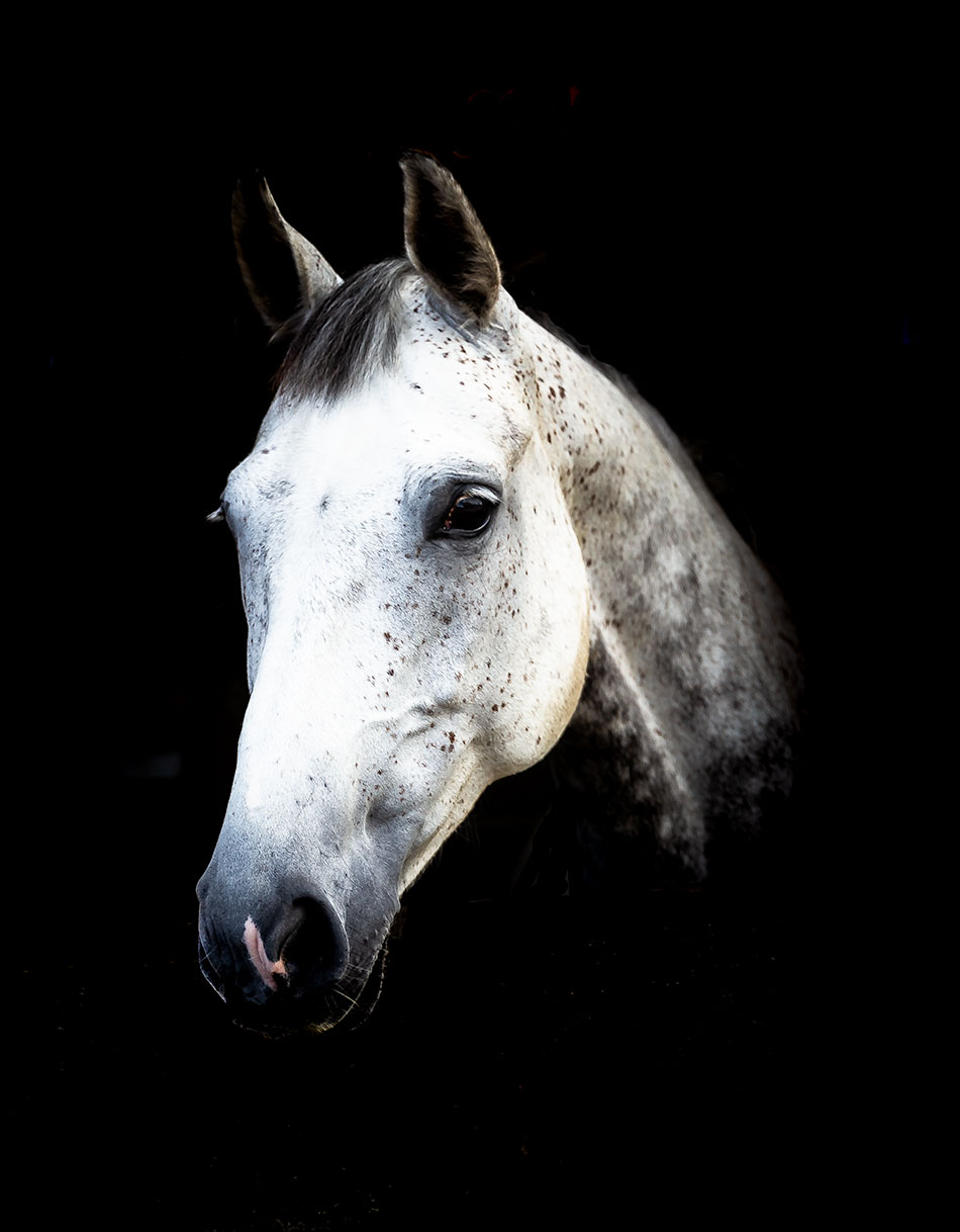 Horse Art Horse Photographer Horse Portrait Photography Fine Art Horse Photography Horse Art Photography Large Horse Picture Jason Hornby The Pet And Animal Photographer Shrewsbury
