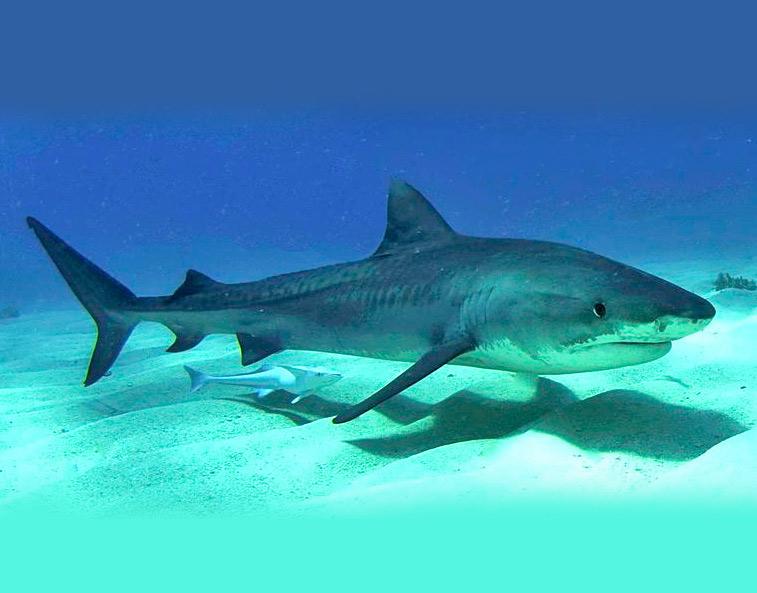 Meet the sharks fish finder adventures sustainable fishing tiger shark altavistaventures Gallery
