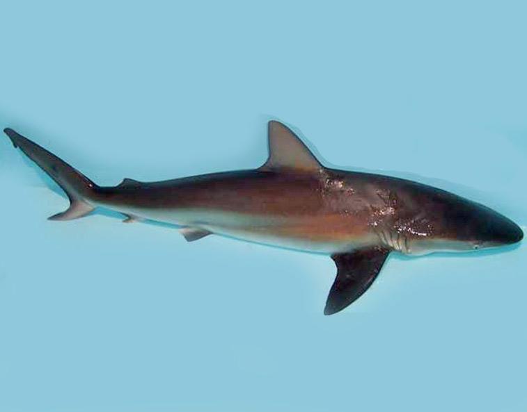 Dusky Shark - Meet the Sharks - Fish Finder Adventures, Sustainable ... Whale Shark Size