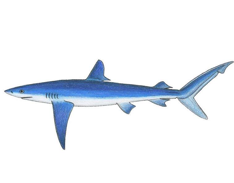 Meet the sharks fish finder adventures sustainable fishing blue shark altavistaventures Images