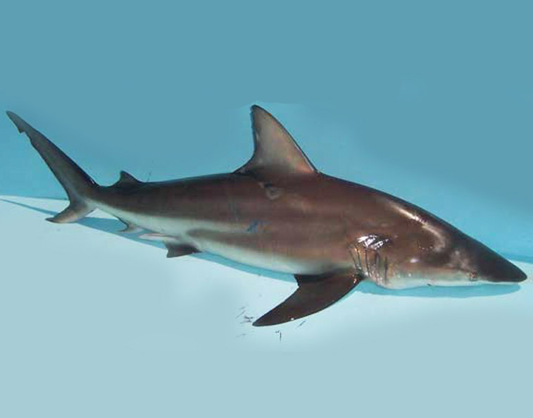 Blacktip Shark Blacktip shark