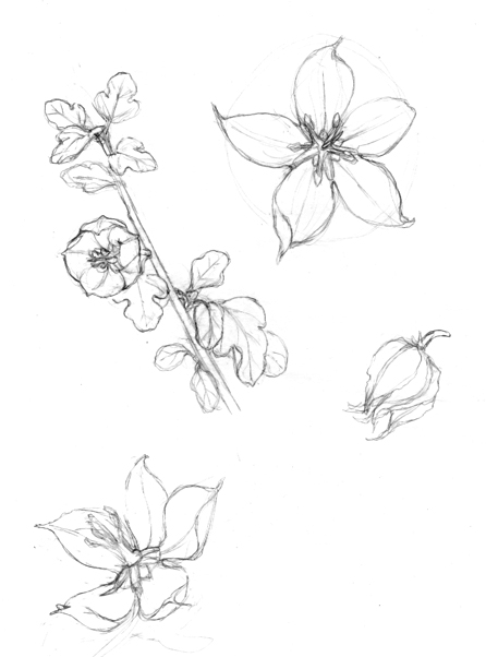 Wildflower Line Drawing : Related keywords suggestions for wildflower sketches