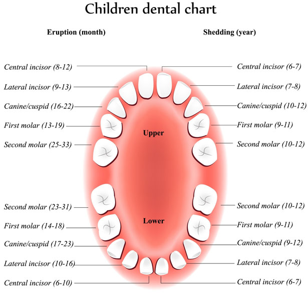 the first primary tooth erupts at around 6 months of age please seethe figure below to see the eruption schedule for the remainder of their teeth