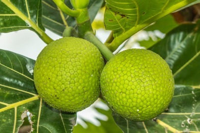 TREES THAT FEED FOUNDATION EXPANDING BREADFRUIT CAPACITY IN HAITI
