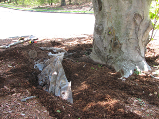 Improper Mulching: Beech tree root zone covered with plastic.