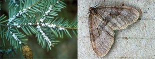 The hemlock wooly adelgid and the winter moth.