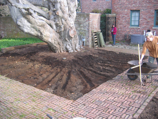 Improving soil area under an old beech tree