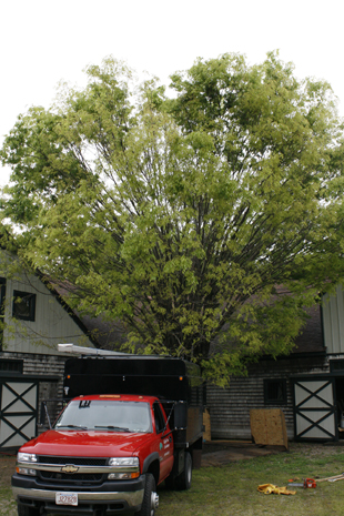 This Zelkova was showing signs of decline in the crown