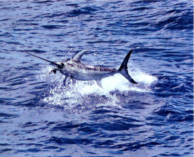 Catch 22 great swordfish day 6 11 08 blog bud n for Bud and mary s fishing report