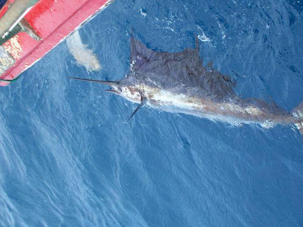 Sailfishing hot in islamorada bud n 39 mary 39 s marina for Franks great outdoors fishing report