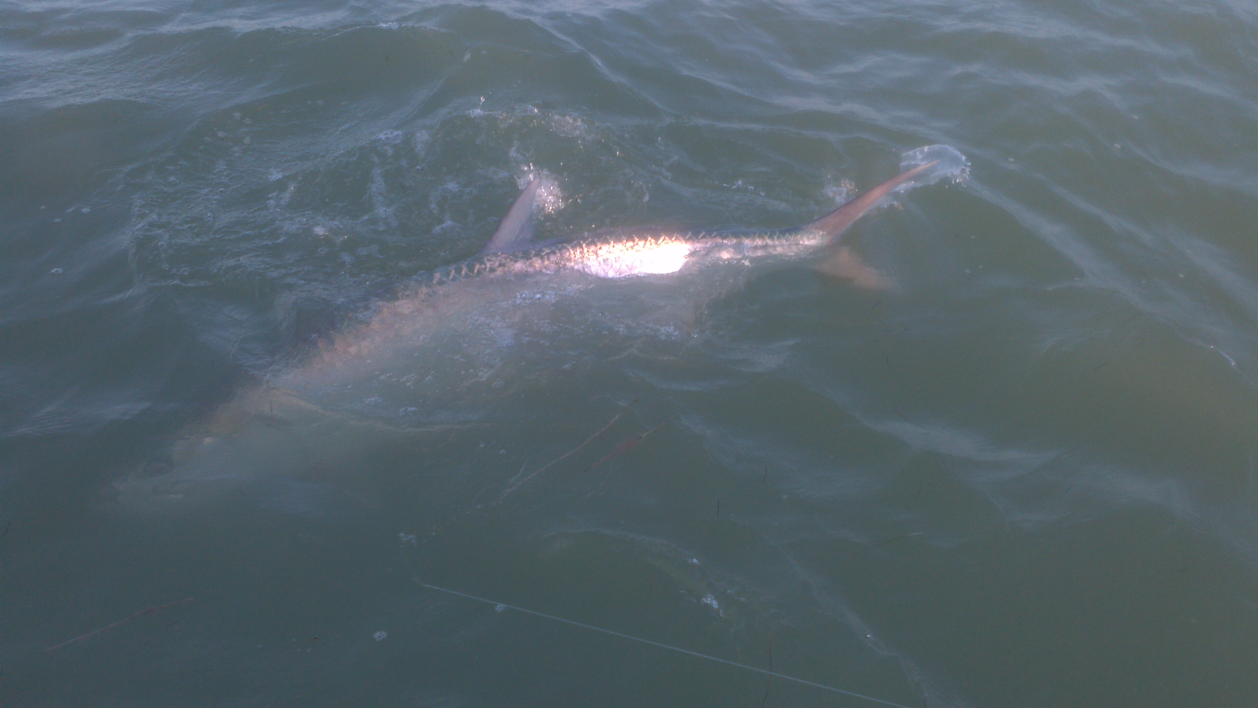 4 12 13 tarpon fishing islamorada in april is hot for Bud and mary s fishing report