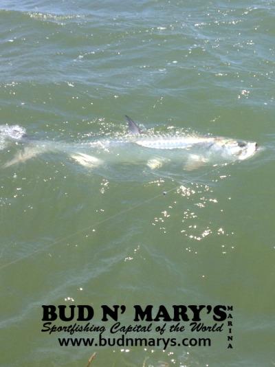11 1 13 november islamorada backcountry fishing report for Bud n marys fishing report
