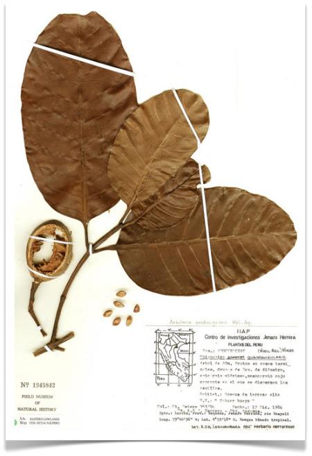 specimen herbarium