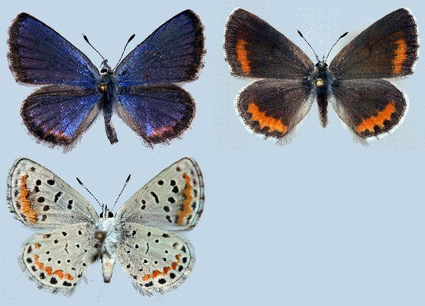 Suitable Lab Host Plants: How to Find Female Butterflies: Females are ...