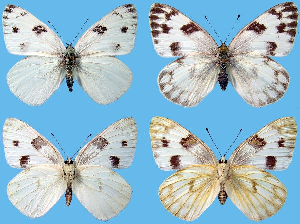 how to find butterfly eggs