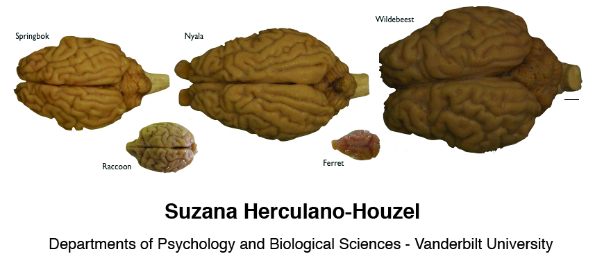 Suzana Herculano Houzel Laboratory Of Comparative Neuroanatomy