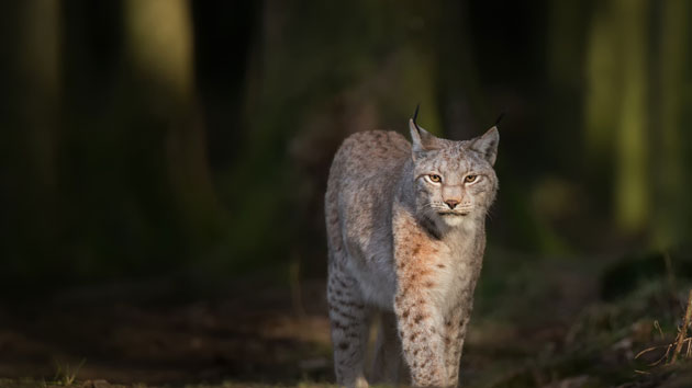 Woman strangles possibly rabid bobcat after it attacks her, authorities say