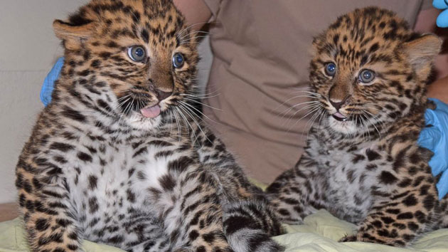 Endangered Amur leopard cubs born at Illinois zoo