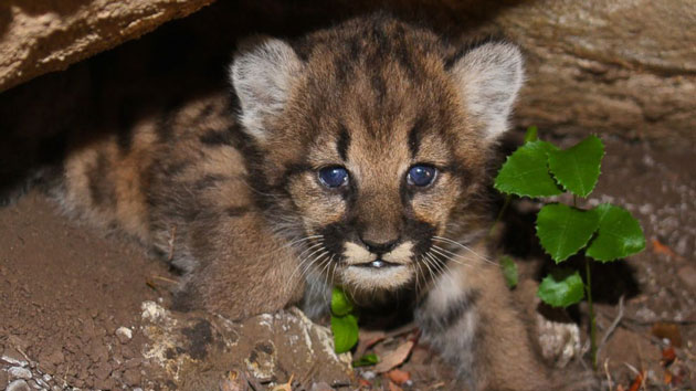 National Park Service researchers find litter of mountain lion kittens near Los Angeles