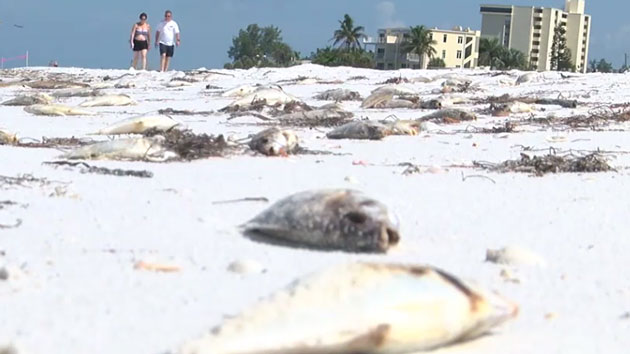 Toxic red tide blooms are creeping up Florida's west coast, killing marine life and irritating humans