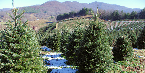 The Anderson Observer News Cut Your Own Christmas Fir Tree In