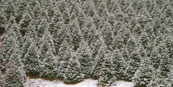 Christmas Tree Farm Asheville Nc.The Anderson Observer News Cut Your Own Christmas Fir