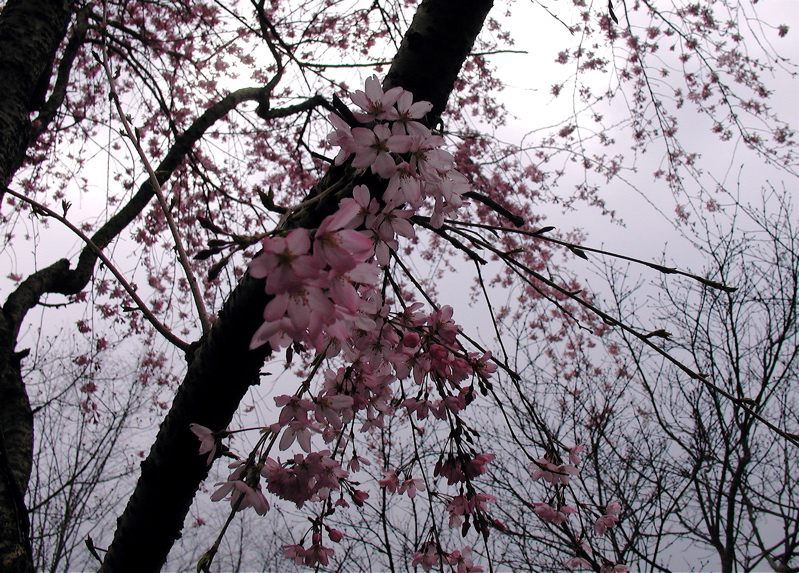 """the house behind a weeping cherry Lesson #3: """"the house behind a weeping cherry"""" 195 and """"a good fall"""" 221  essay 2: a good fall by ha jin, 150 points in a 5-page essay,."""