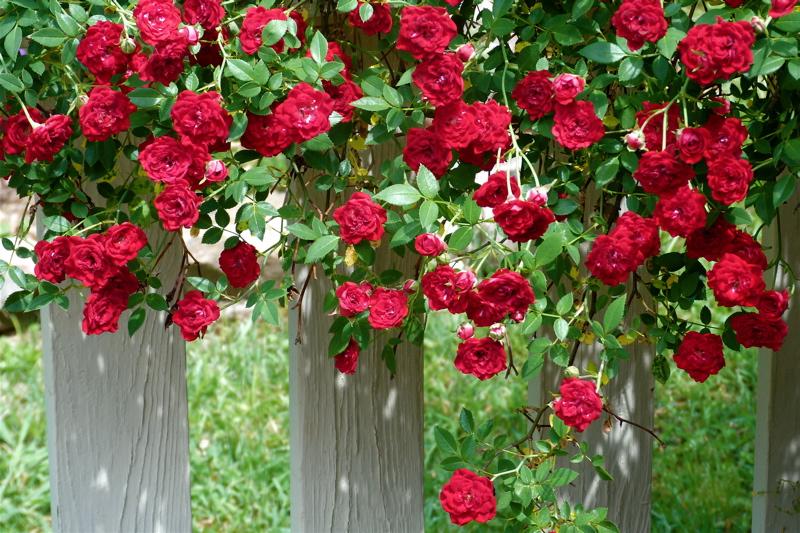Red Cascade: A Favorite Low Maintenance Rose