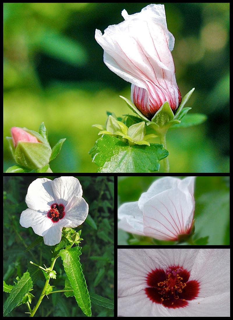 Pavonia hastata a dark eyed beauty debs garden debs garden blog pavonia hastata a dark eyed beauty izmirmasajfo