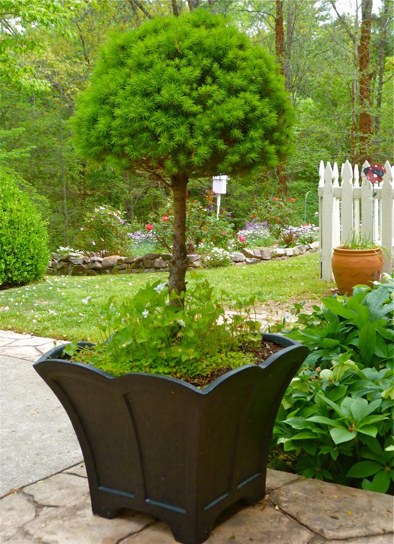 Dwarf ornamental trees for landscaping - How Not To Kill A Dwarf Alberta Spruce