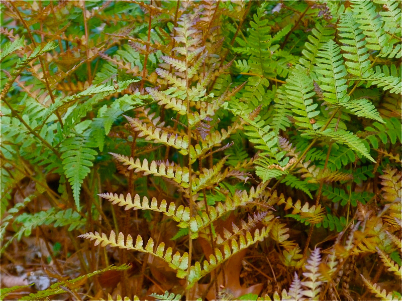 Autumn Fern will grow in zones 5-9, and in areas with mild winters like mine ...
