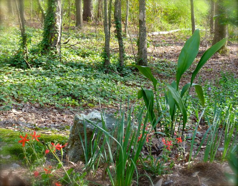 Cast iron plant for low maintenance deb 39 s garden deb 39 s for Low maintenance herb garden