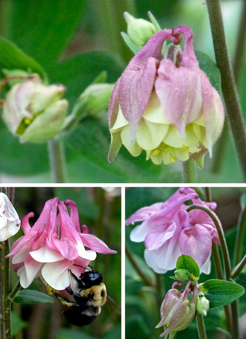 Columbine my favorite flower debs garden debs garden blog bees butterflies and hummingbirds all love these flowers too and i love that they love them izmirmasajfo