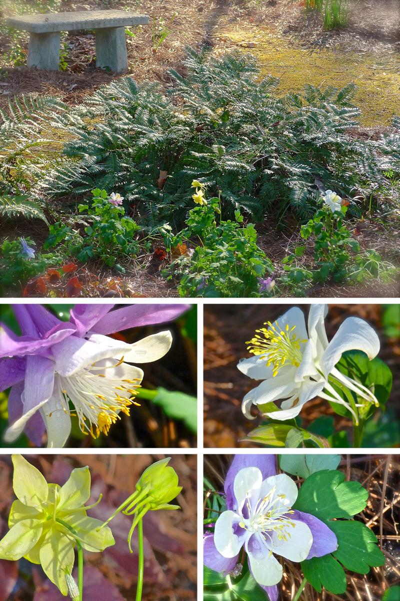 Columbine My Favorite Flower Debs Garden Debs Garden Blog