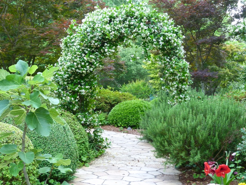 Confederate Jasmine For A Fragrant Layer In The Garden