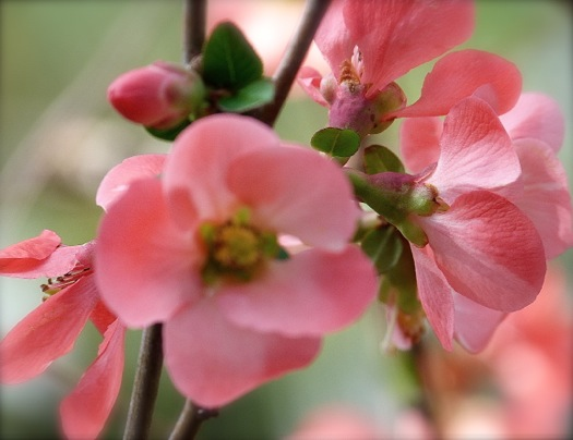 we found several quinces buried under weeds and vines on a hillside next to the drive i was alerted to their presence by the colorful blooms that - Quince Flower