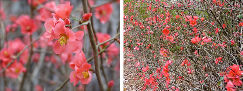 flowering quince will grow in usda hardiness zones 49 in a wide range of soils though it does best in slightly acid loamy soil - Quince Flower