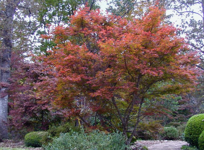 Japanese Maples In My Garden Deb 39 S Garden Deb 39 S Garden